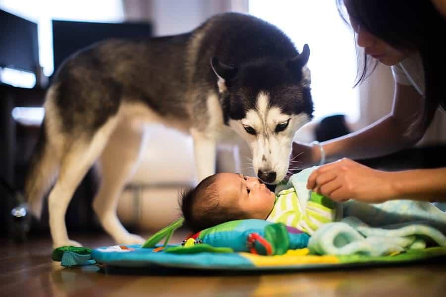 babies-with-huskies_0026